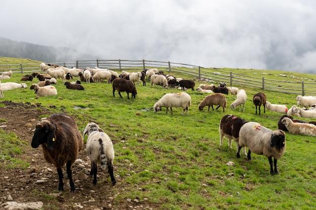 Piękny widok na stado owiec na zielonych pastwiskach w słoneczny dzień