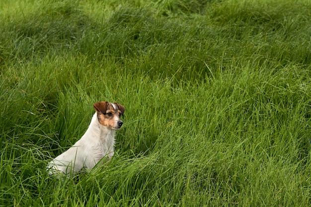 Piękny widok na uroczego białego psa na zielonej trawie