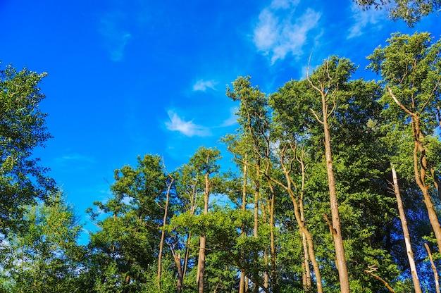 Piękny widok na wysokie drzewa na błękitnym niebie