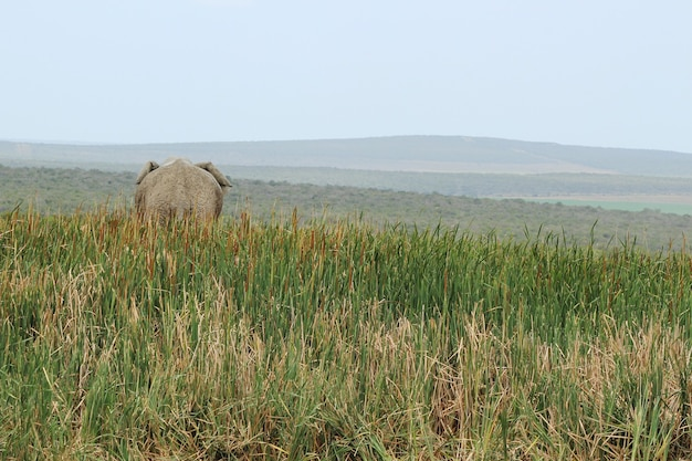 Piękny widok uchwyconego od tyłu słonia stojącego na wzgórzu porośniętym wysoką trawą