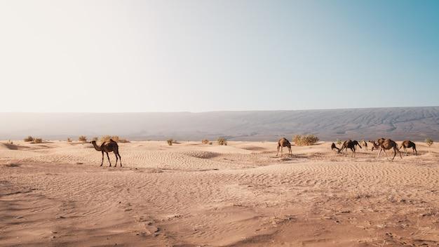 Piękny widok wielbłądy na pustyni chwytającej przy dniem zaświeca w maroko