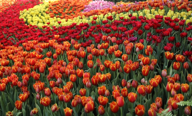Piękny widok zbliżenie wielu kolorowych kwiatów tulipanów w ogrodzie