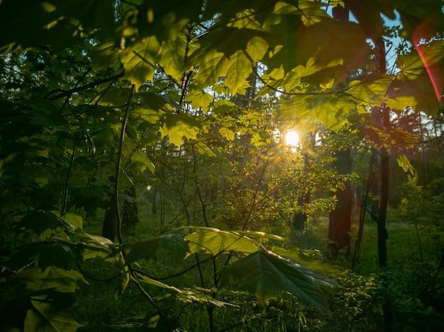 Piękny wiejski krajobraz światło słoneczne przebija się przez liście w zielonym letnim lesie