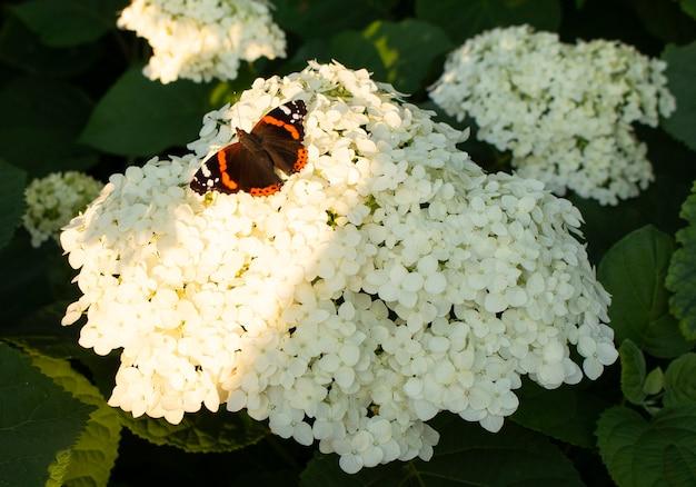 Piękny wielobarwny motyl siedzi na kwitnącym białym kwiecie hortensji. rosną w ogrodzie.