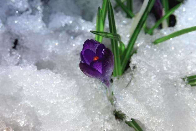 Piękny wiosenny fioletowy pierwiosnek krokus na śniegu w godzinach porannych
