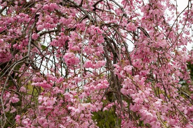 Piękny wiosenny kwiat wiśni z blaknięciem w pastelowe różowo-białe tło. mała głębia ostrości. szeroki wymiar hedera.