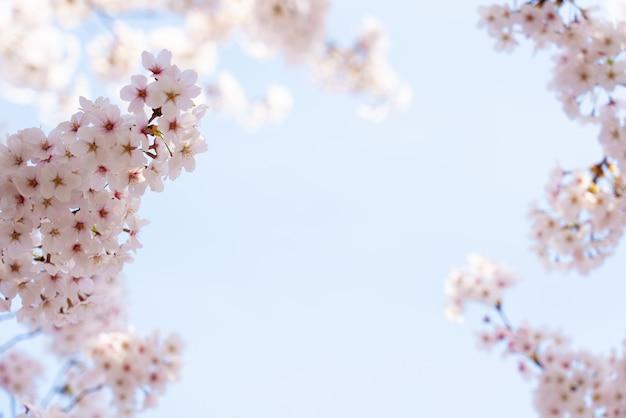 Piękny wiosenny kwiat wiśni