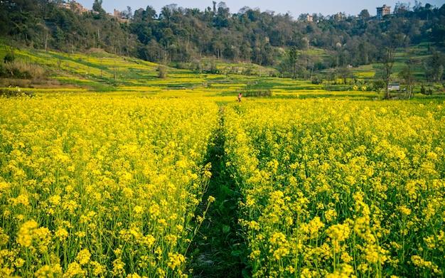 Piękny wiosenny widok na farmę musztardy, nepalu.