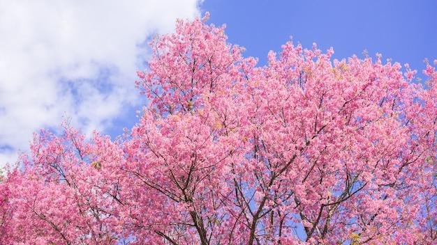 Piękny wiśniowy kwiat wiśni i błękitne niebo rano.