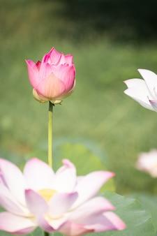 Piękny wodny lelui kwiat w stawie