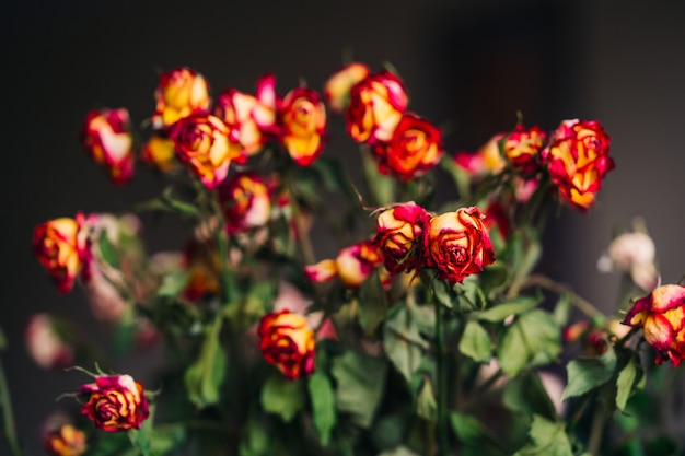 Piękny wysuszony kolor żółty z czerwieni róży kwiatami odizolowywającymi na zmroku