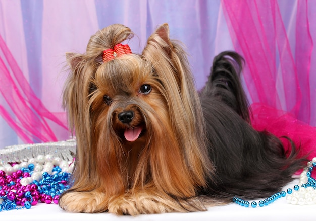 Piękny yorkshire terrier na tkaninie