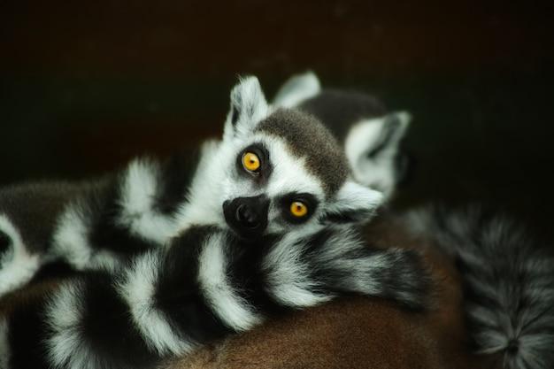 Piękny z uroczych lemurów ogoniastych, wpatrujących się intensywnie