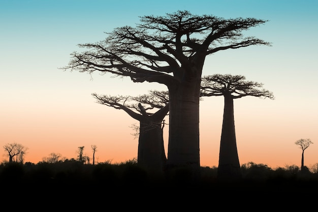 Piękny zachód słońca baobab alley. madagaskar. afryka