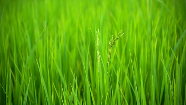 Piękny zakończenie up świeży zielony ryżu pola natury tło, rolnictwo i naturalny pojęcie ,.