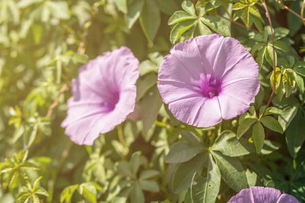 Piękny zakończenie w górę purpurowego ranek chwały kwiatu.
