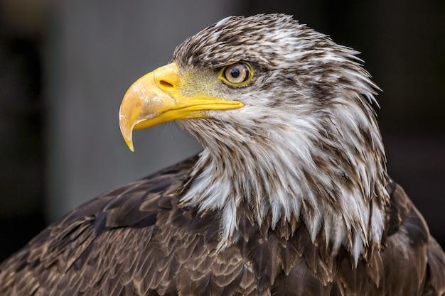 Piękny zbliżenie portret dzikiego, potężnego orła