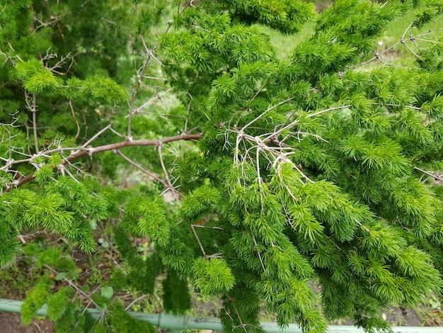 Piękny zbliżenie strzał stawowa sosna z zielonymi liśćmi w lesie