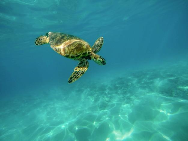 Piękny zbliżenie strzał wielkiego żółwia pływać podwodny w oceanie
