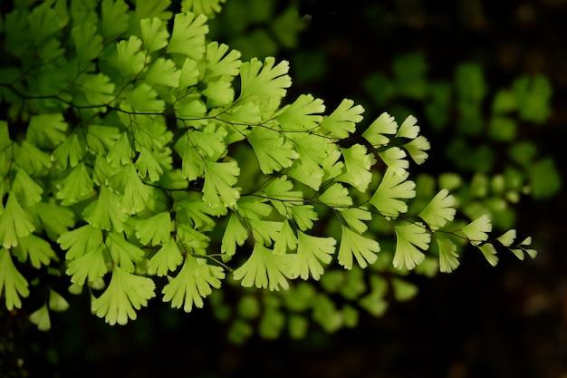 Piękny zielony adiantum paprociowy tło