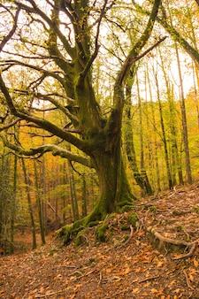 Piękny zielony dąb w lesie artikutza w san sebastin jesienią, guipuzcoa, kraj basków. hiszpania