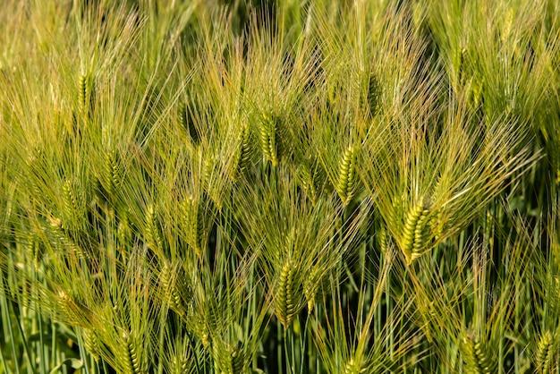 Piękny zielony kłos pszenicy rosnącej w dziedzinie rolnictwa oświetlone miękkim światłem słonecznym. zielony kolor kontrastujący ze złotym na wiejskim krajobrazie. niedojrzałe zboża w japonii.
