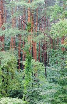 Piękny zielony krajobraz z letnim lasem