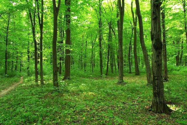 Piękny zielony las