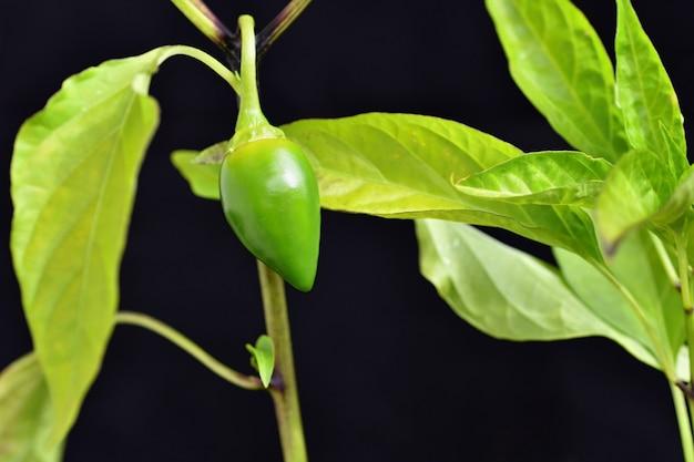 Piękny zielony młody gorący pieprz