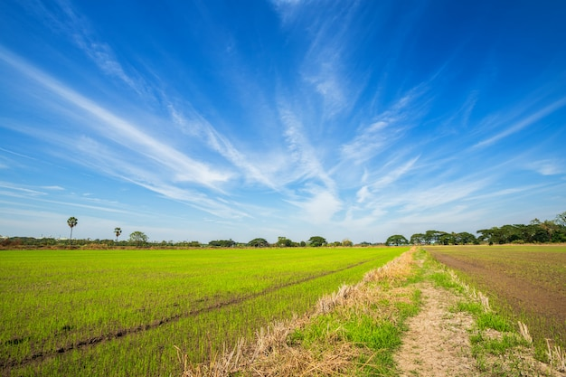 Piękny zielony pole uprawne z puszystym chmury niebem.
