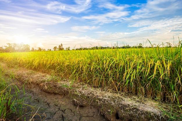Piękny zielony pole uprawne z zmierzchu nieba tłem