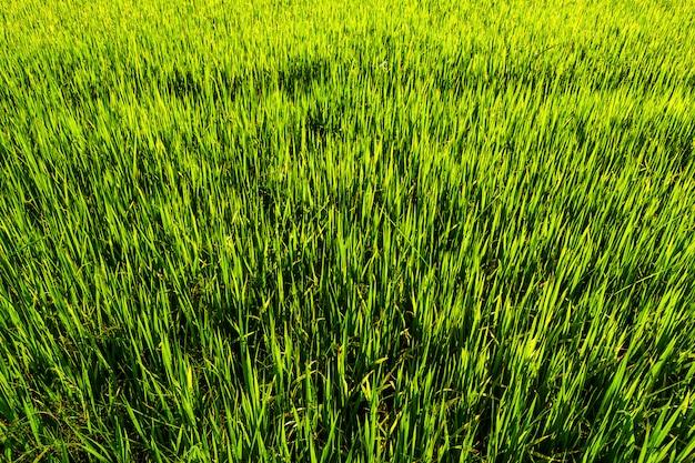 Piękny zielony pole uprawne z zmierzchu niebem.