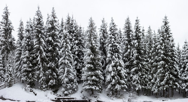 Piękny zimowy krajobraz. gęsty górski las z wysokimi ciemnozielonymi świerkami pokrytymi czystym głębokim śniegiem w jasny mroźny zimowy dzień.