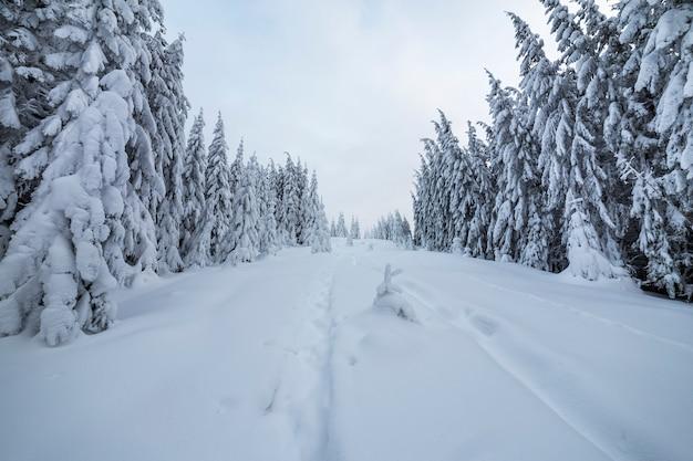 Piękny zimowy krajobraz. gęsty las górski z wysokimi ciemnozielonymi świerkami, ścieżka w białym czystym głębokim śniegu.