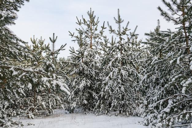 Piękny zimowy krajobraz leśny z wieloma wiecznie zielonymi gałęziami sosny jodłowej pokrytej śniegiem w dzień