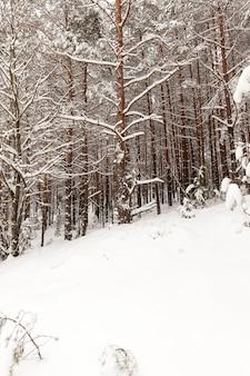 Piękny zimowy krajobraz w lesie, wysokie drzewa pokryte śniegiem, ziemię pokrywają białe duże zaspy śnieżne