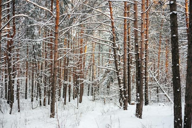 Piękny zimowy las, pnie sosnowe pokryte śniegiem