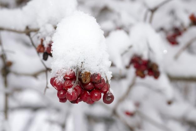 Piękny zimowy obraz czerwonych okrągłych jagód pokrytych śniegiem zimą