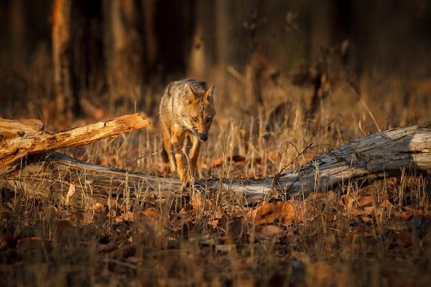 Piękny złoty szakal w przyjemnym miękkim świetle w rezerwacie tygrysów pench w indiach