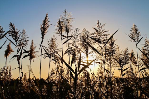 Piękny złoty zmierzch na tle wysoka trawa.