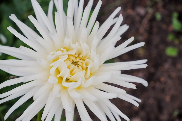 Piękny, żółto-biały kwiat chryzantemy morifolium na plantacji polowej.