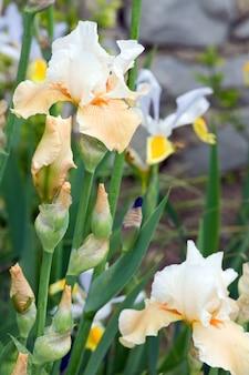 Piękny żółto-pomarańczowy kwiat tęczówki na kwietniku