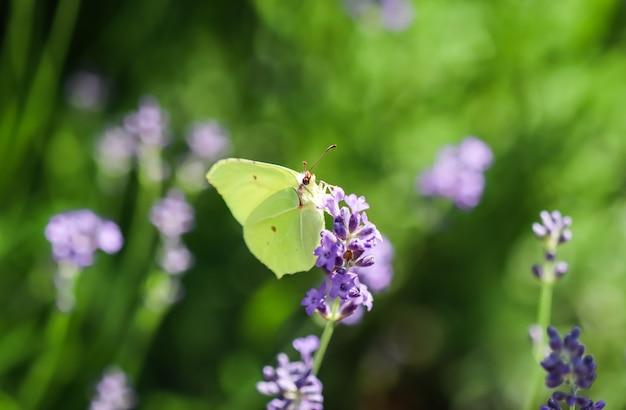 Piękny żółty gopteryx rhamni lub pospolity motyl z siarki na fioletowym lawendowym kwiecie