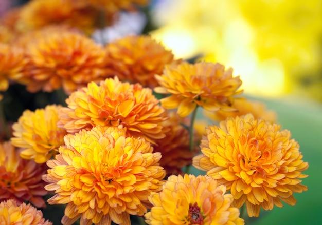 Piękny żółty i pomarańczowy kwiat chryzantemy jesień złote tło