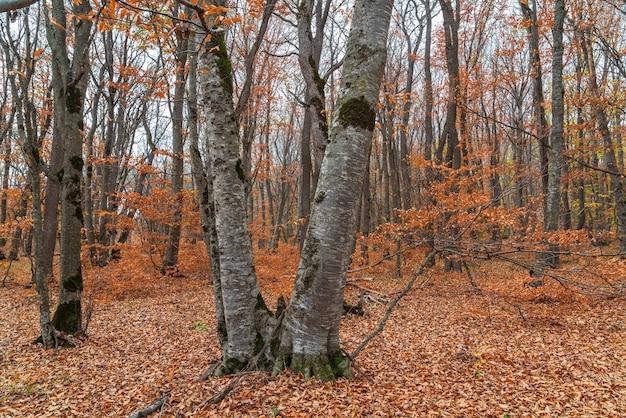 Piękny żółty jesienny las, opadłe liście