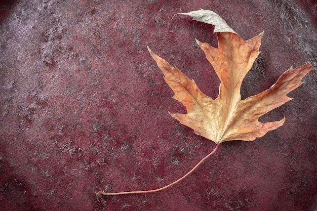 Piękny żółty jesienny liść acer saccharinum powszechnie znany jako klon srebrny na czerwonym tle