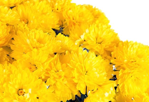 Piękny żółty kwiat chryzantemy (jesienne żywe tło) na białym tle