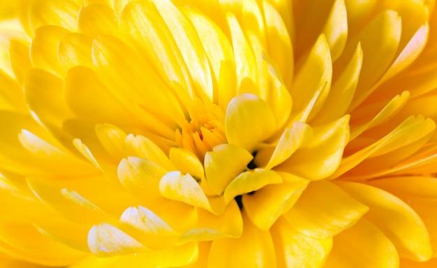 Piękny żółty kwiat chryzantemy (jesienne żywe tło)