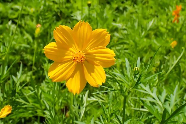 Piękny żółty kwiat kosmosu na zielonym ogrodzie