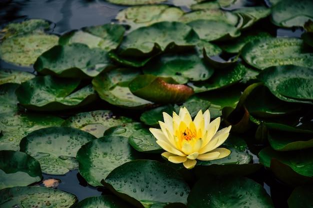 Piękny żółty kwiat lotosu i zielony liść lotosu z wodą w stawie